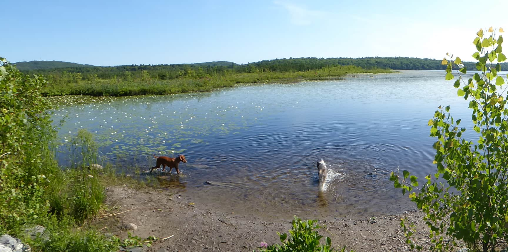 the dog days of summer at ponkapoag pond
