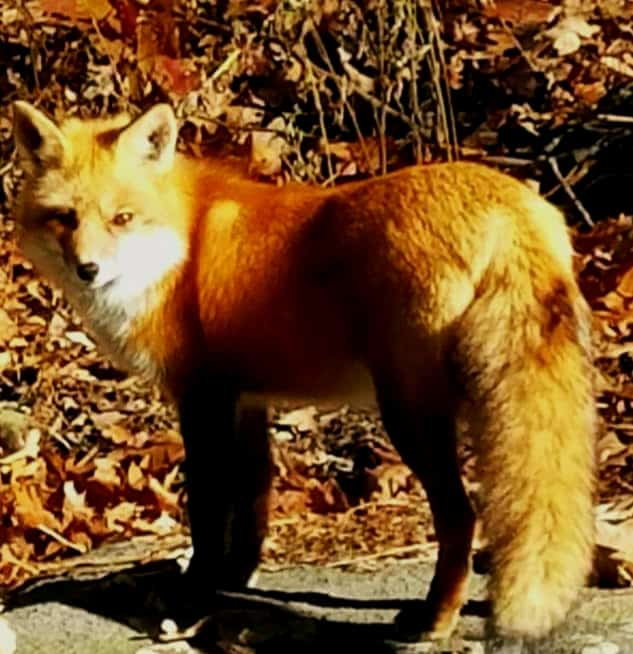 red fox at blue hills