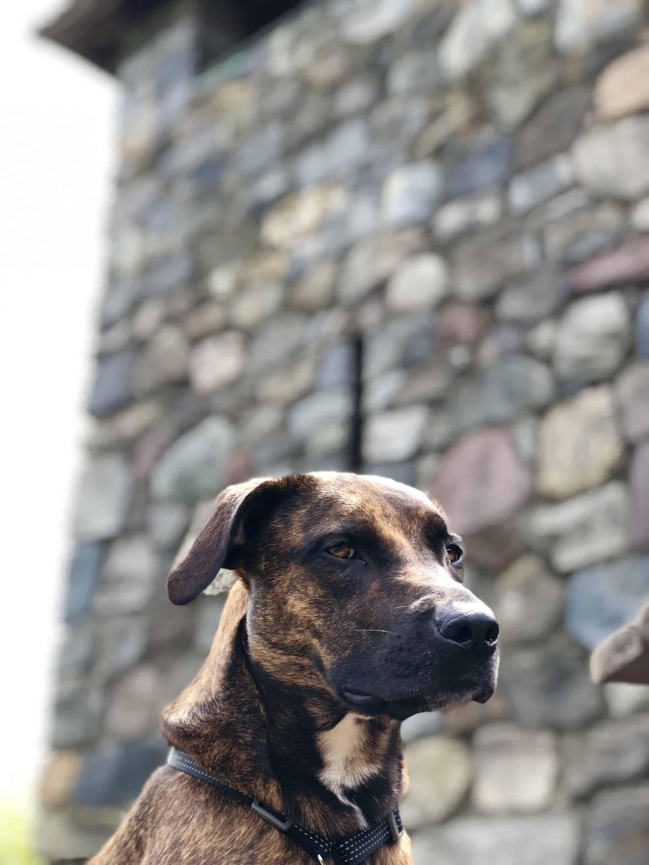 castle dog