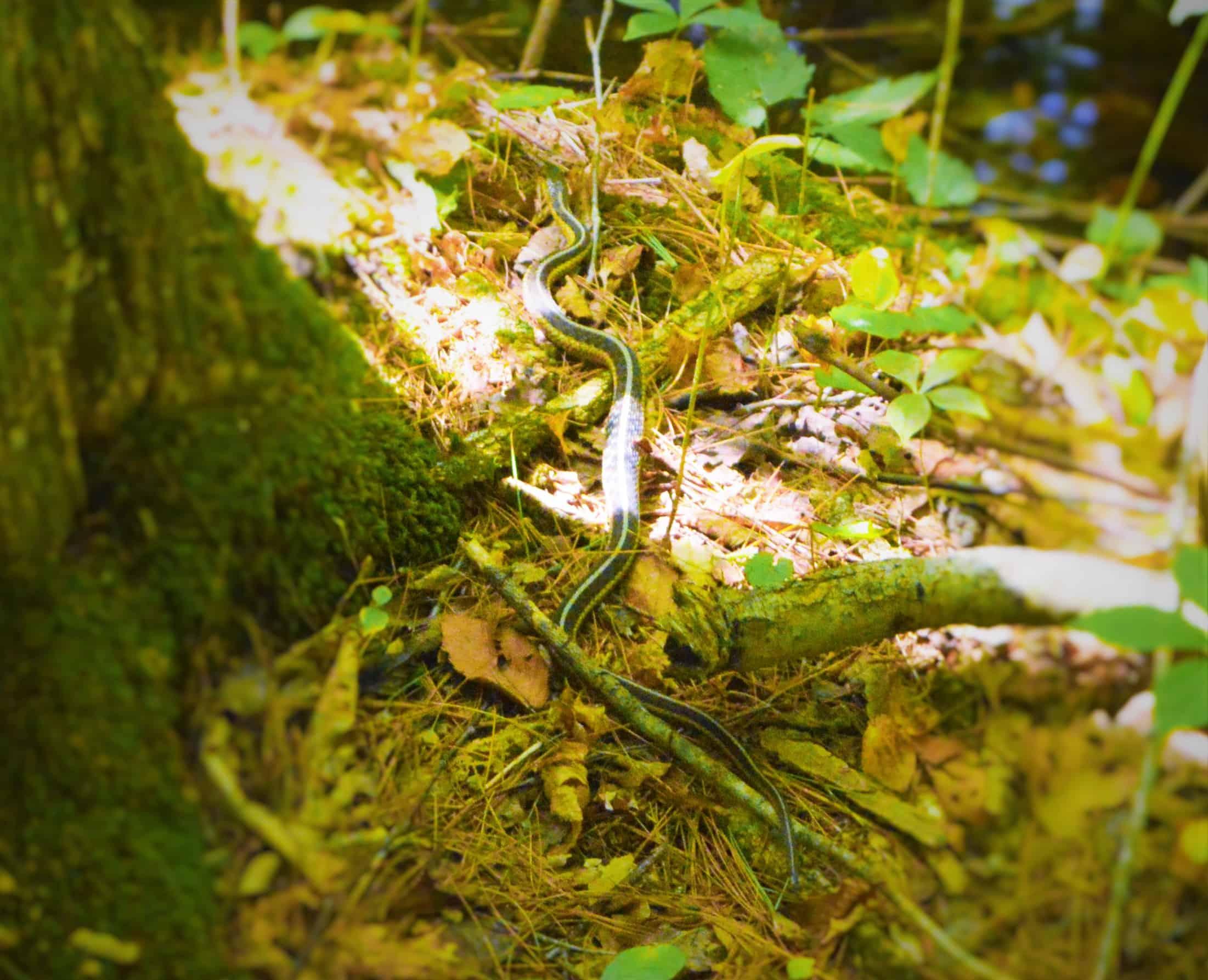 snake on rivers edge