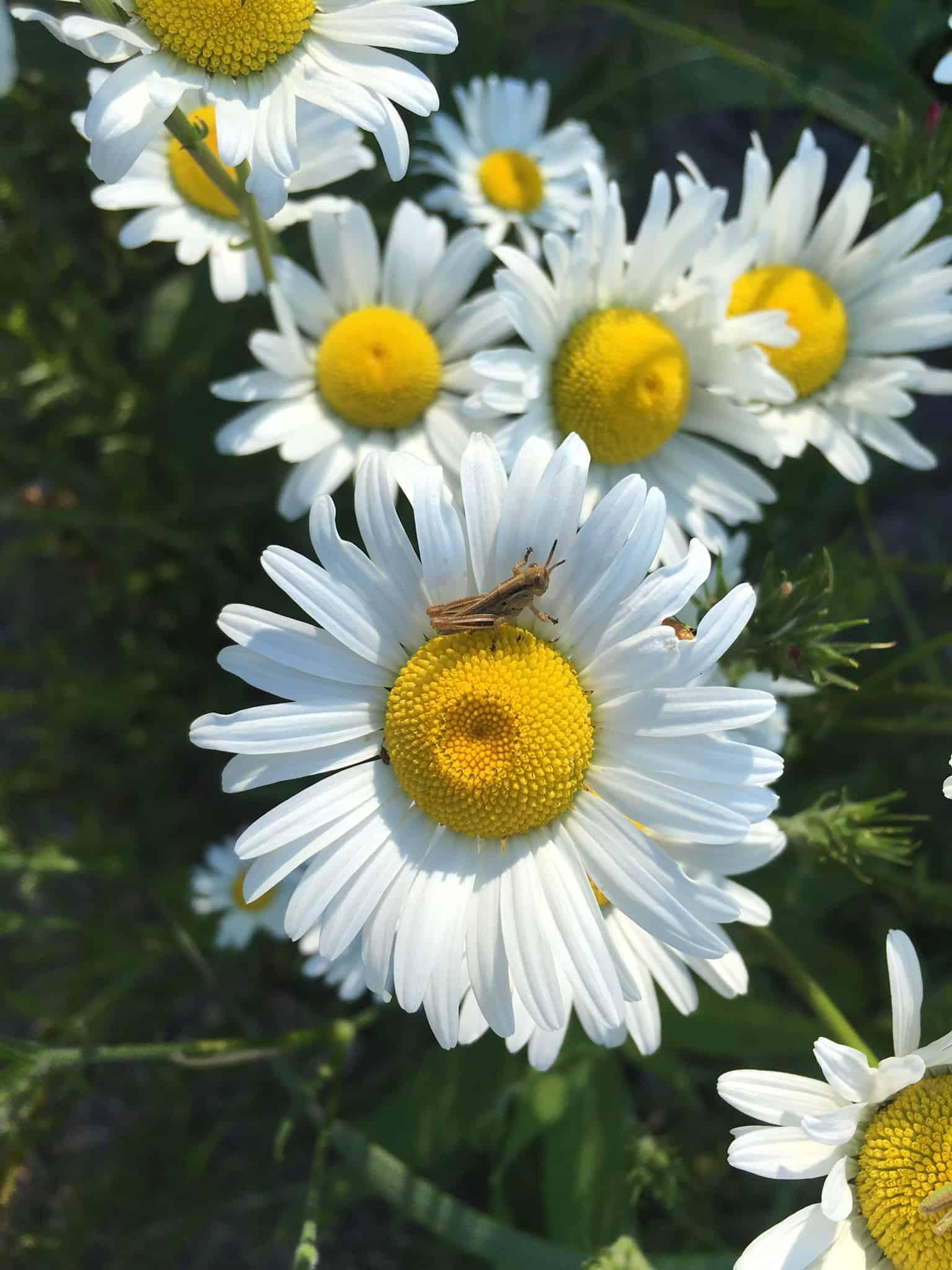 grasshopper and daisy