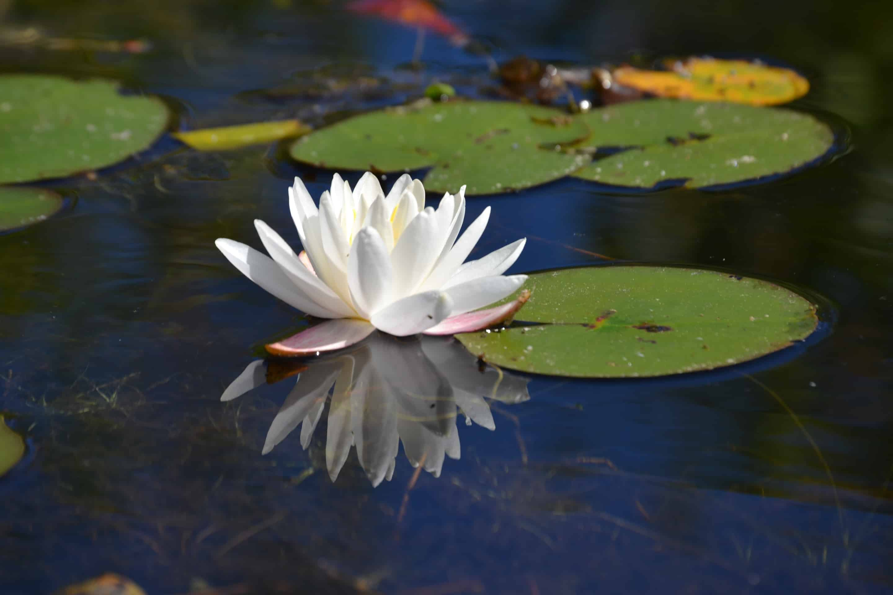 water lily on ponkapoag