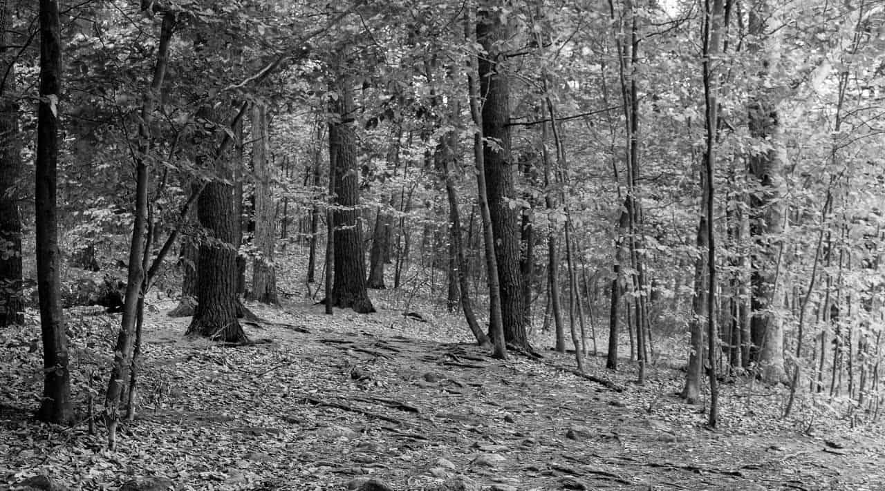 woods in b w