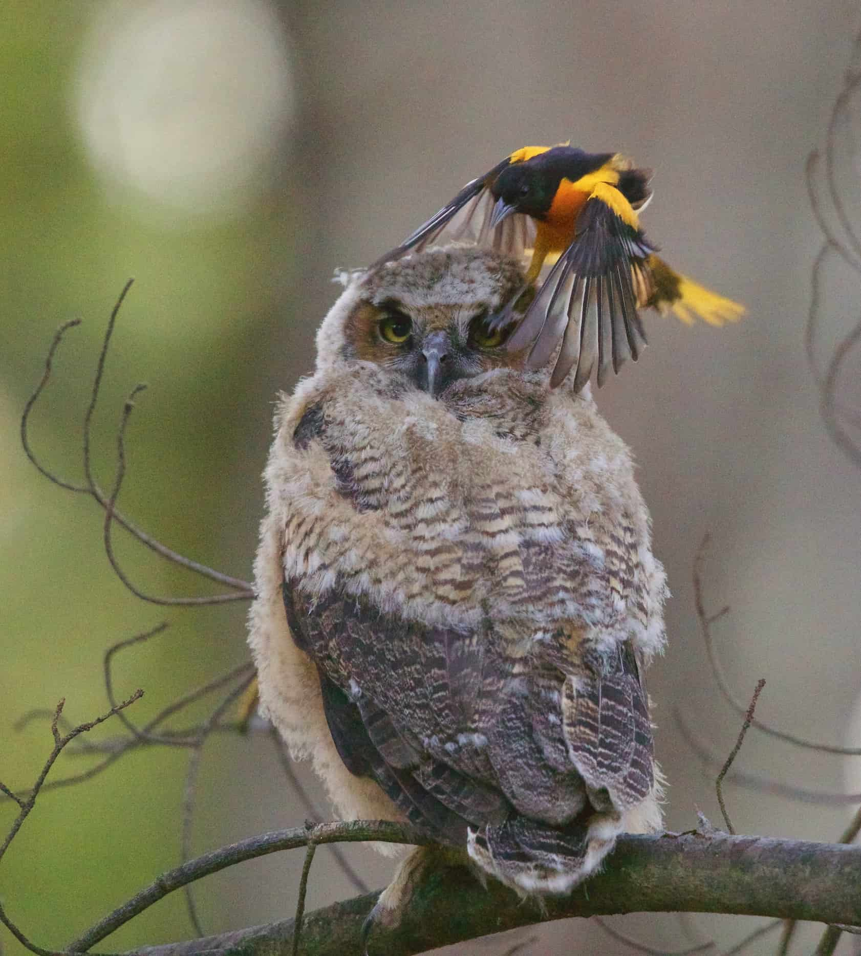 owlet and oriole