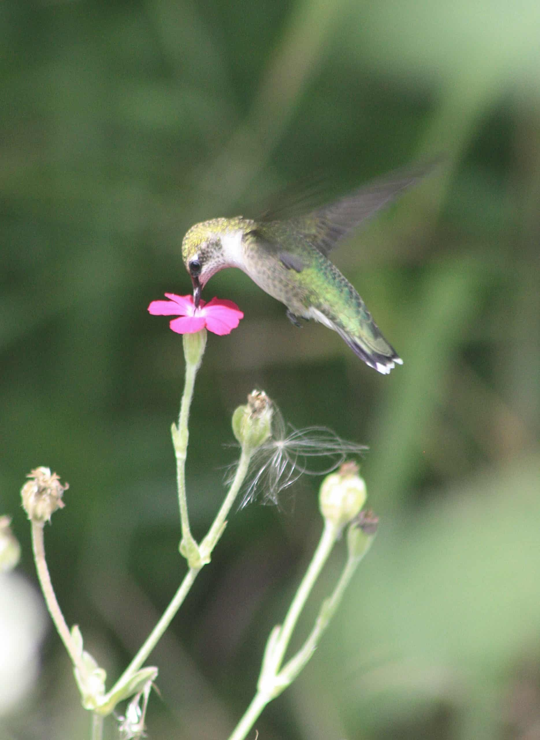 hummingbird breakfast