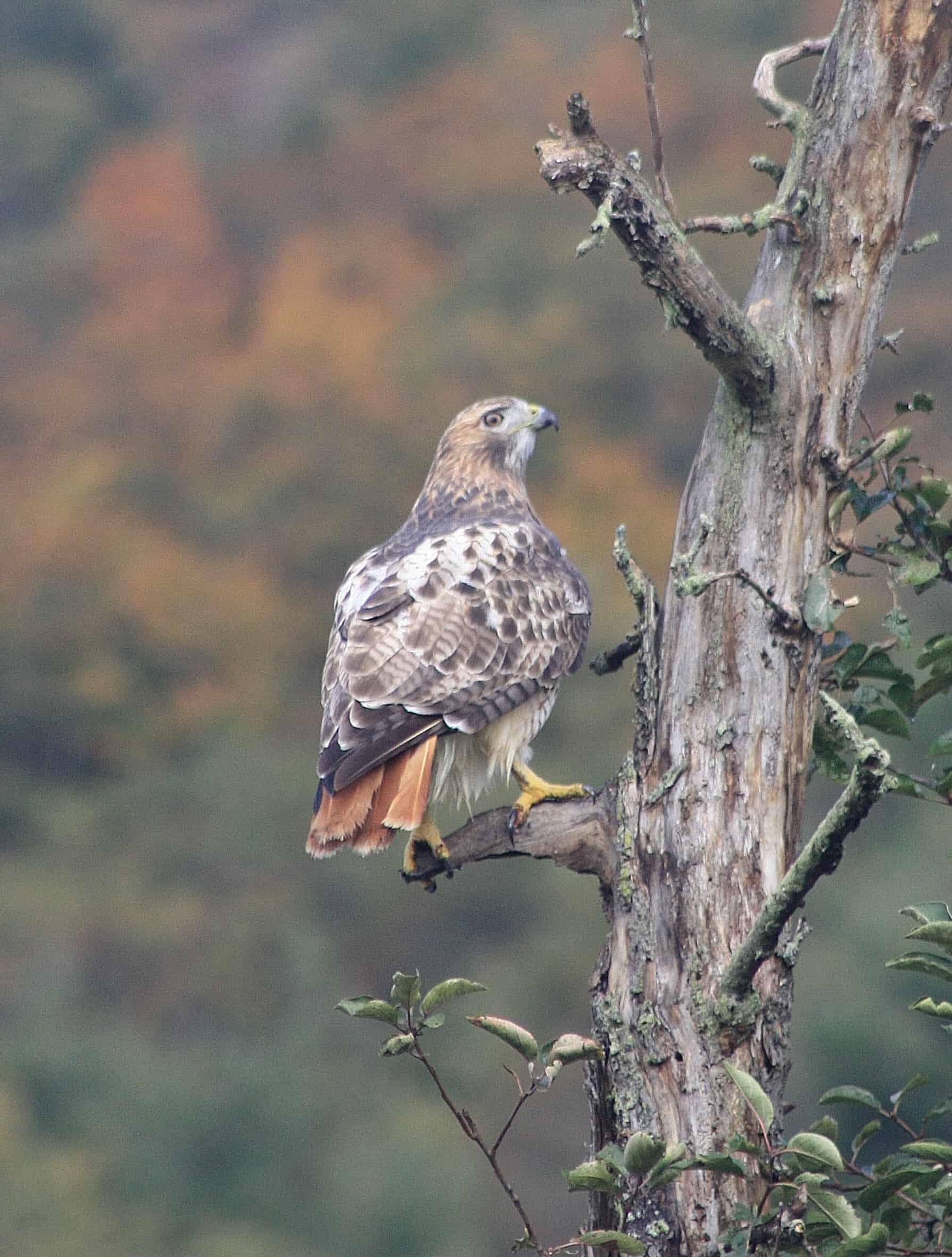 hawk on watch