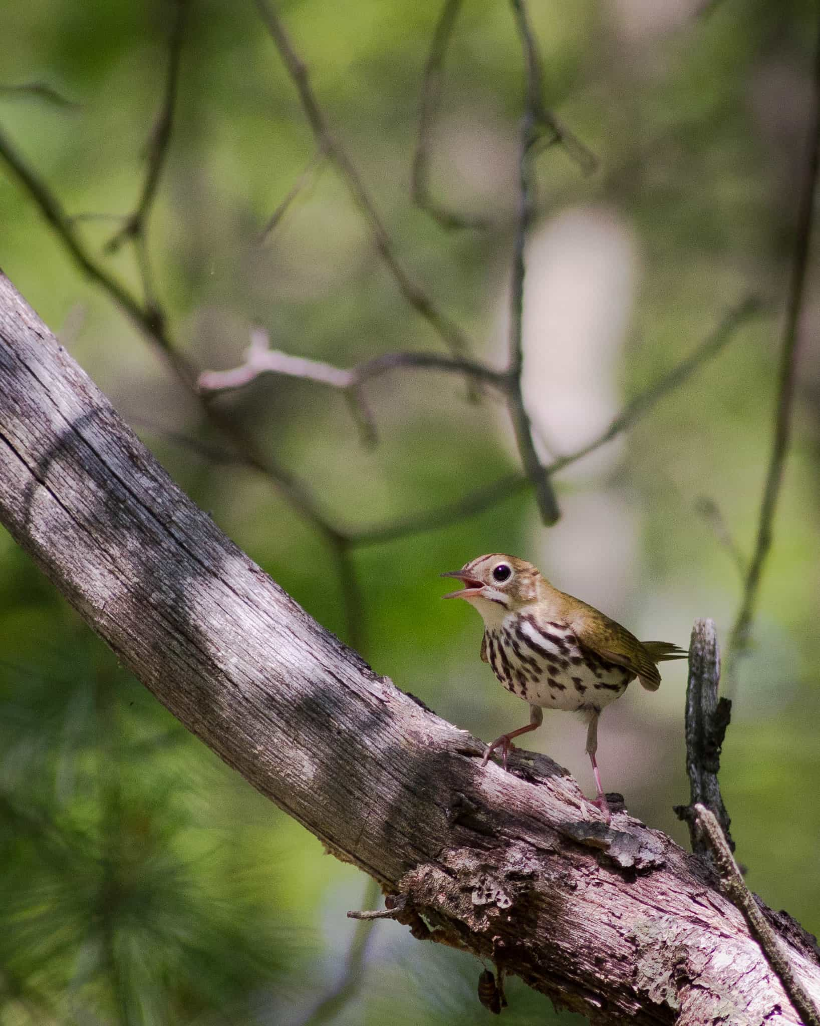 ovenbird in the blue hills
