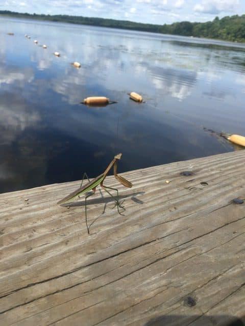 ponkapoag praying mantis