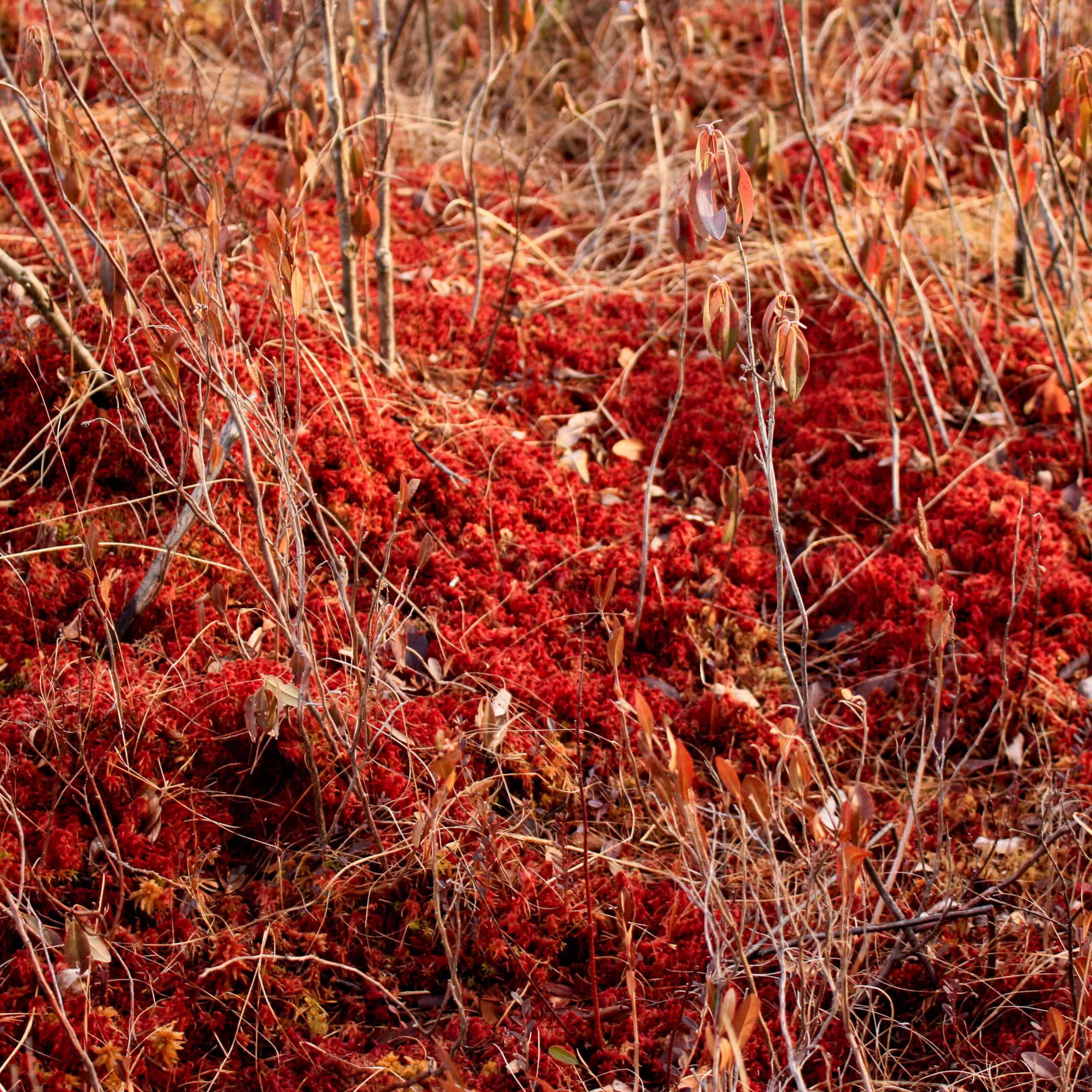 autumn sphagnum in ponkapoag bog