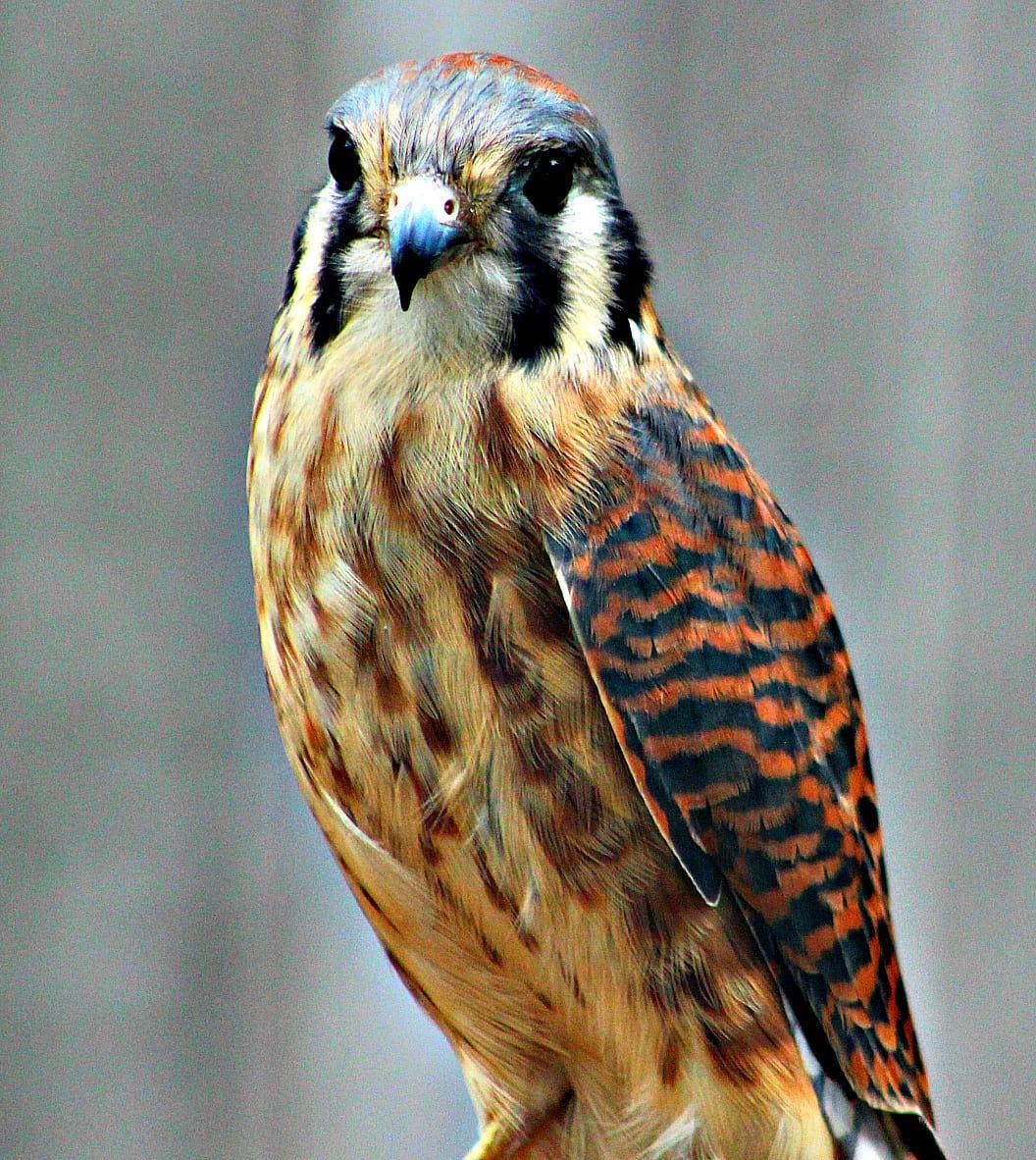the wee falcon north american kestrel