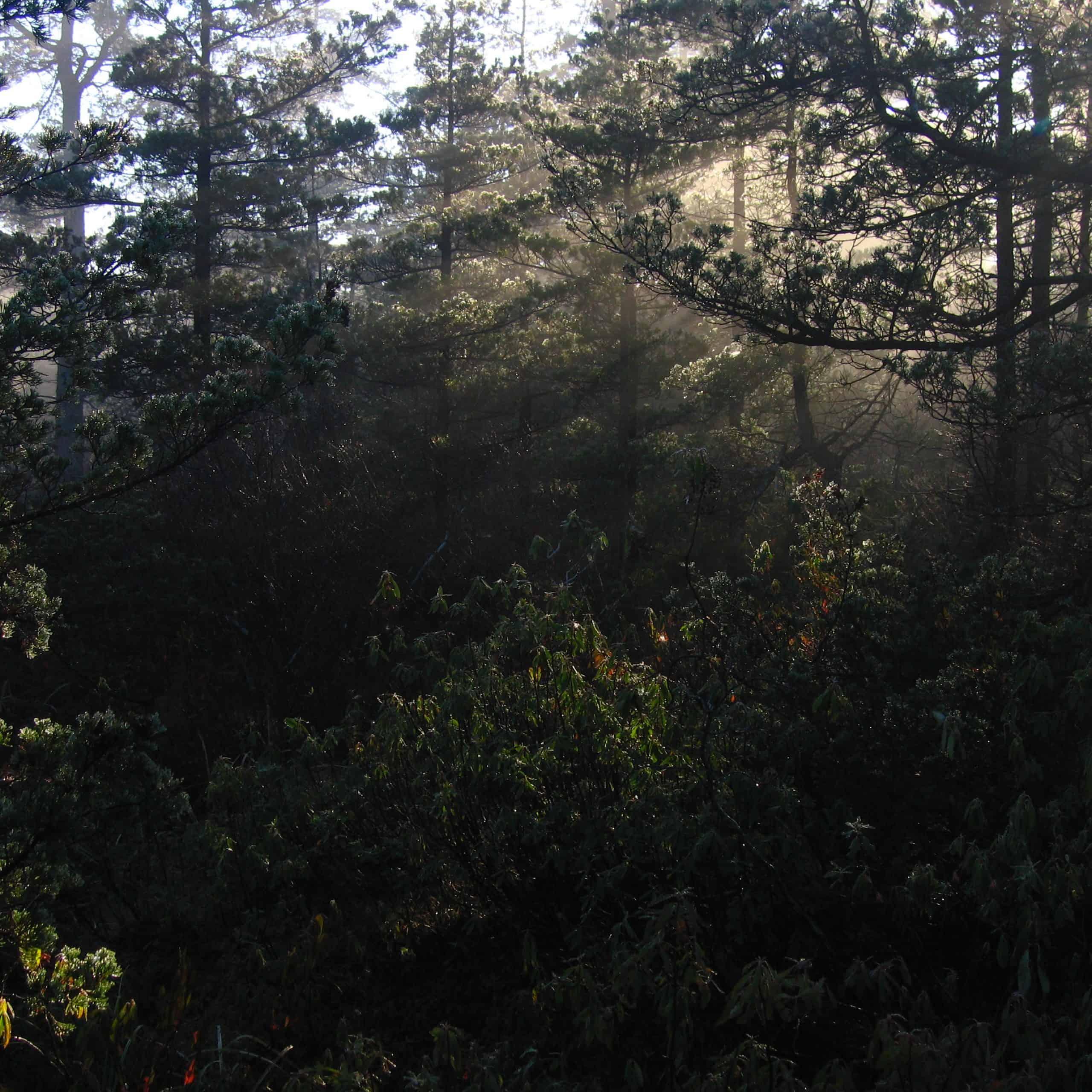 sunlight thru cedars