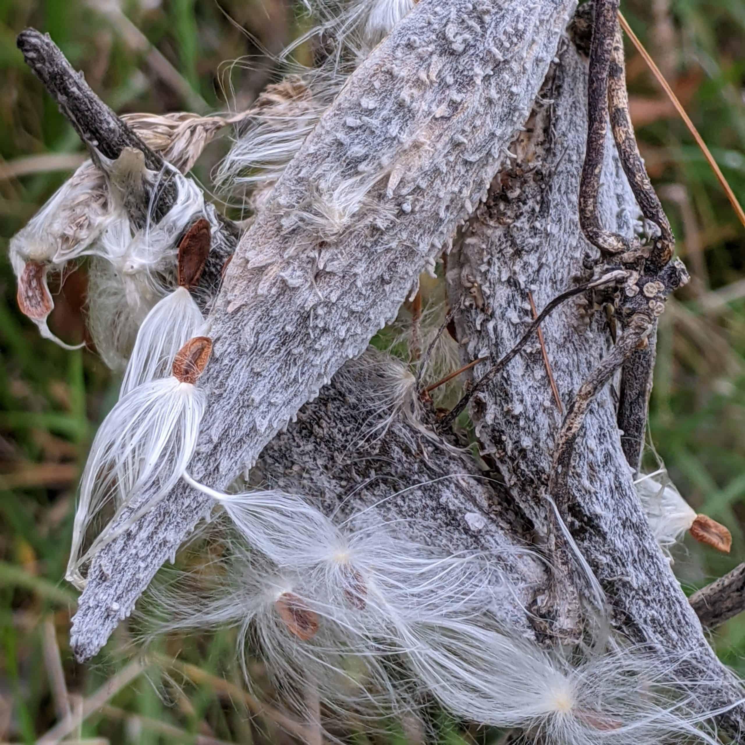 milkweed pods and angel wings