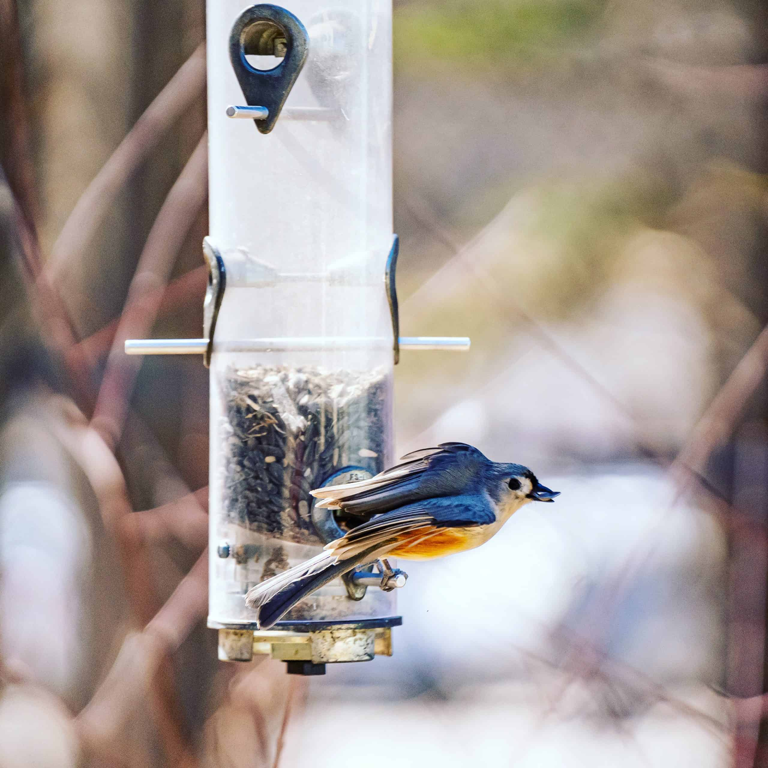 blue bird at blue hills trail museum