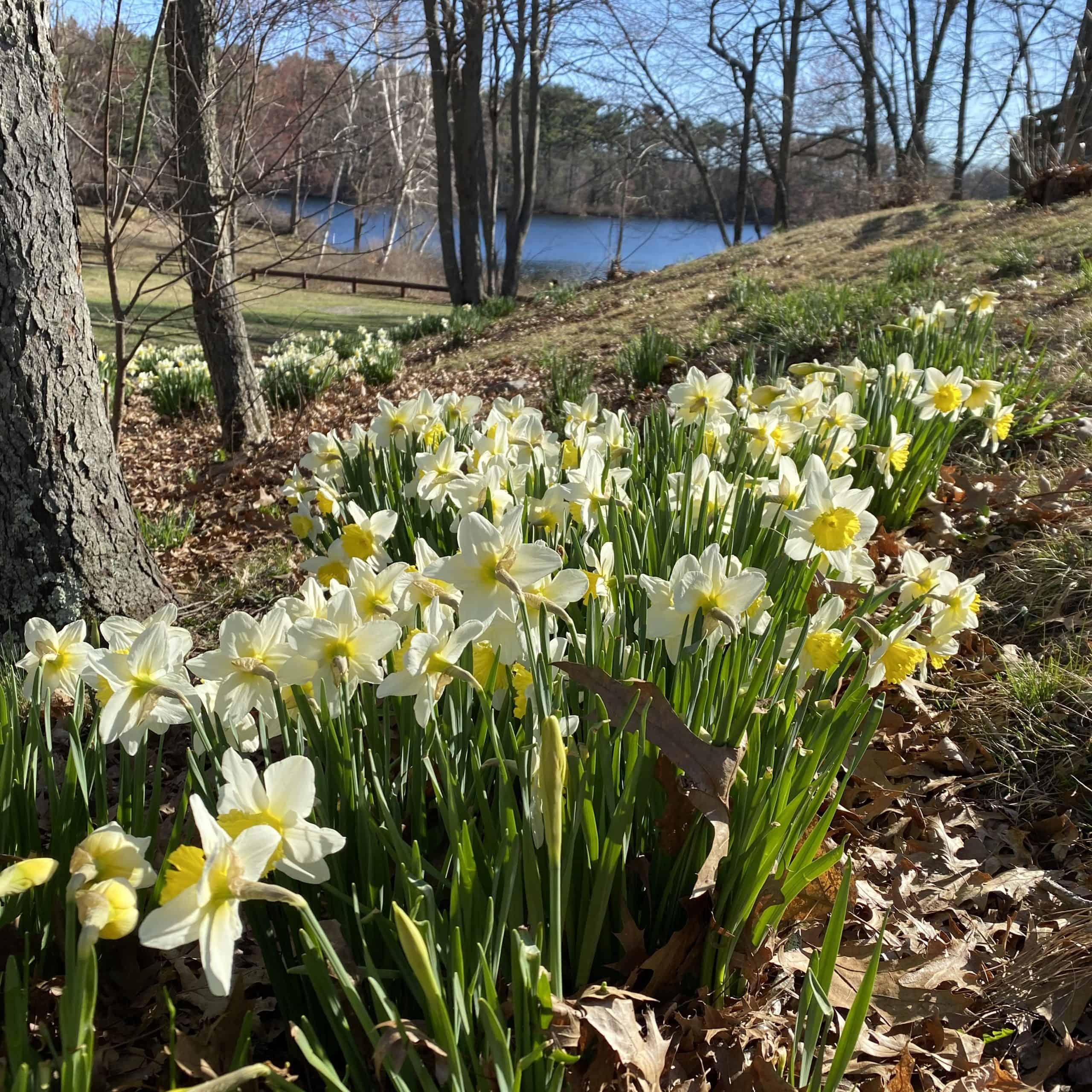 dandy daffodils