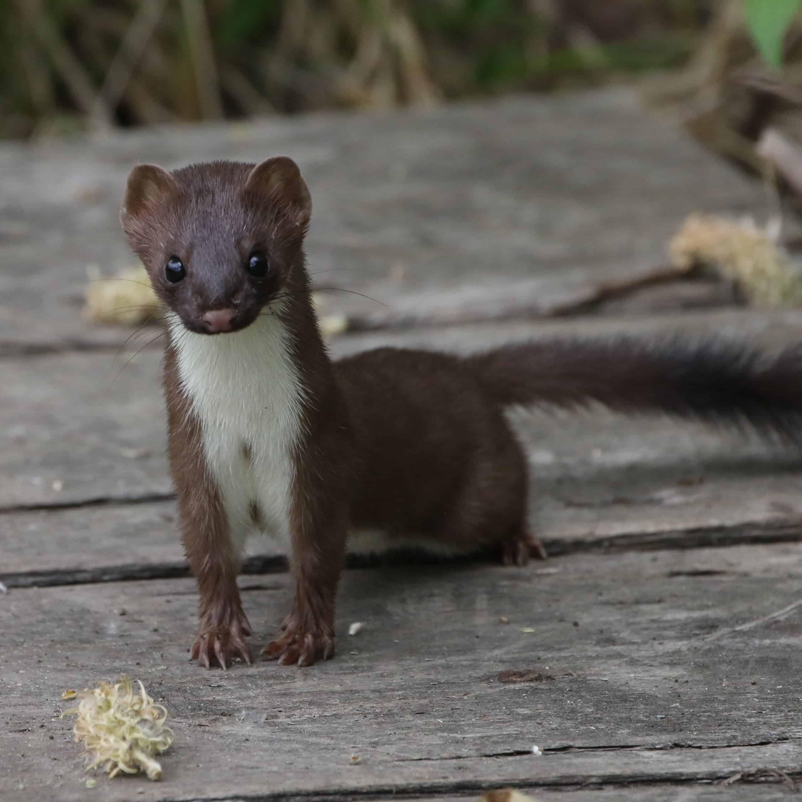long tailed weasel mustela frenata encounter on burma trail foot bridge