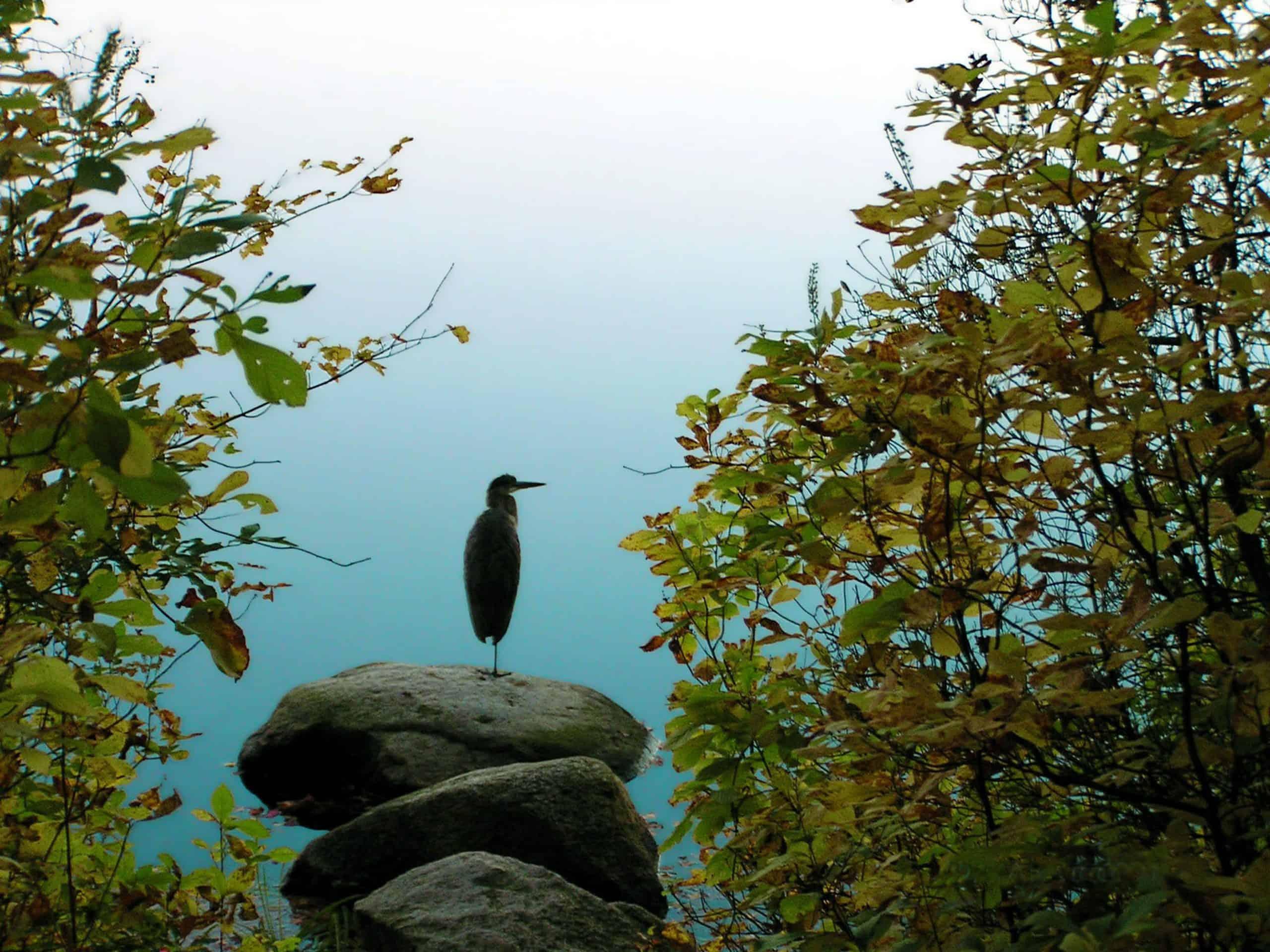 blue heron at houghton s pond