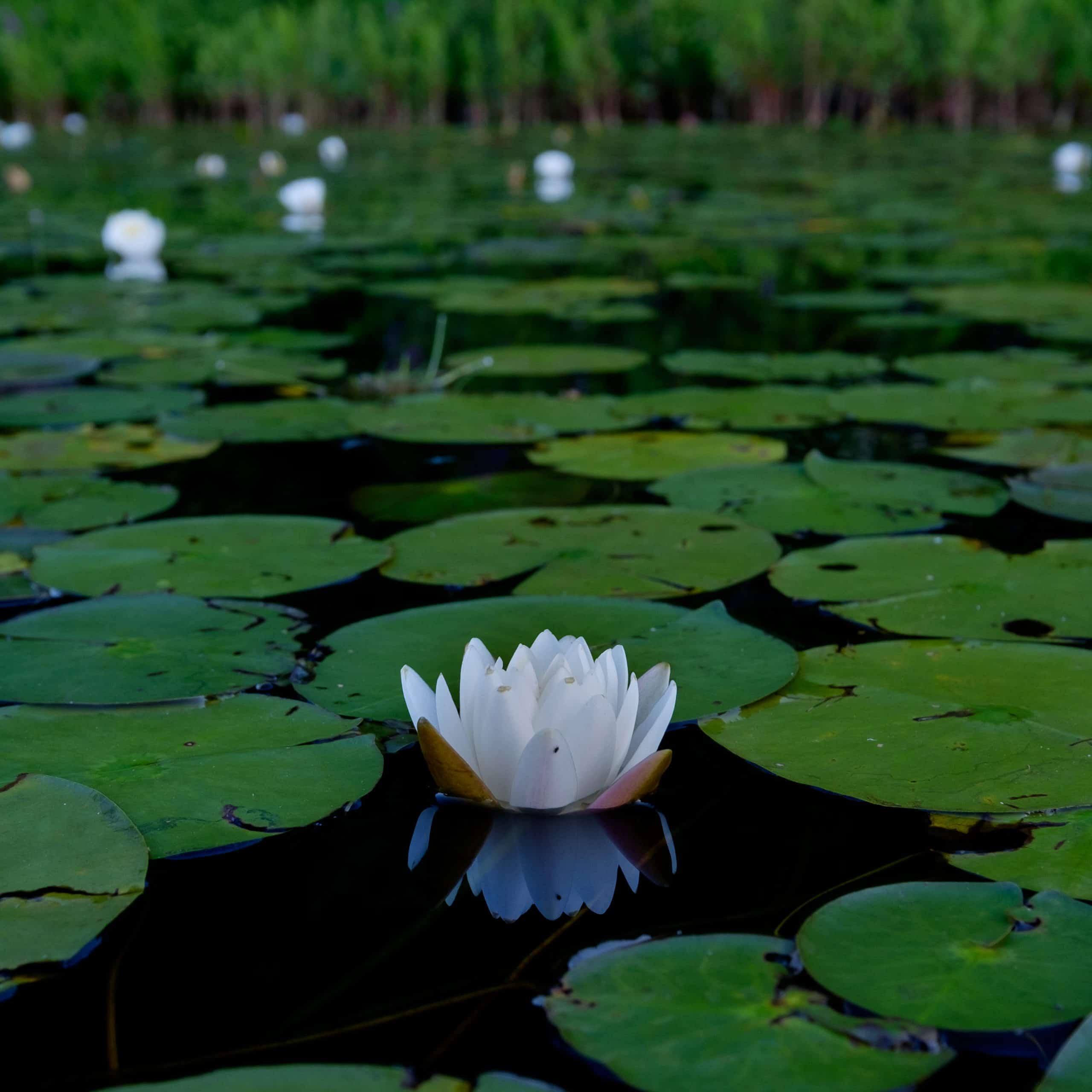 ponkapoag water lily