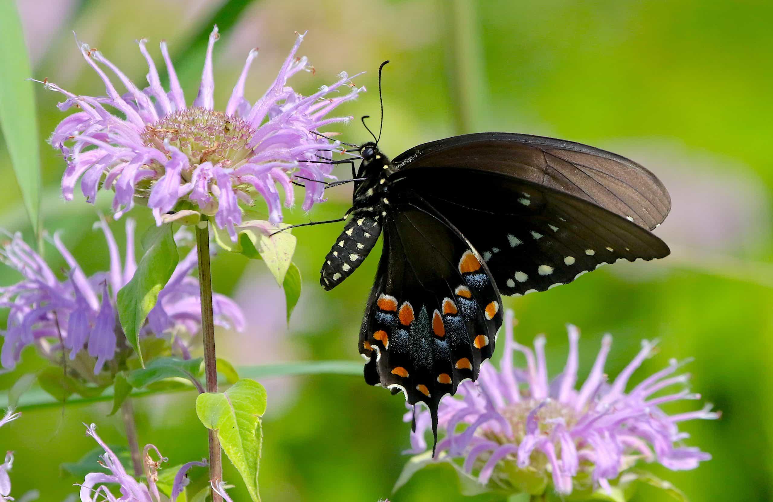 spicebush swallowtail butterfly on bee balm