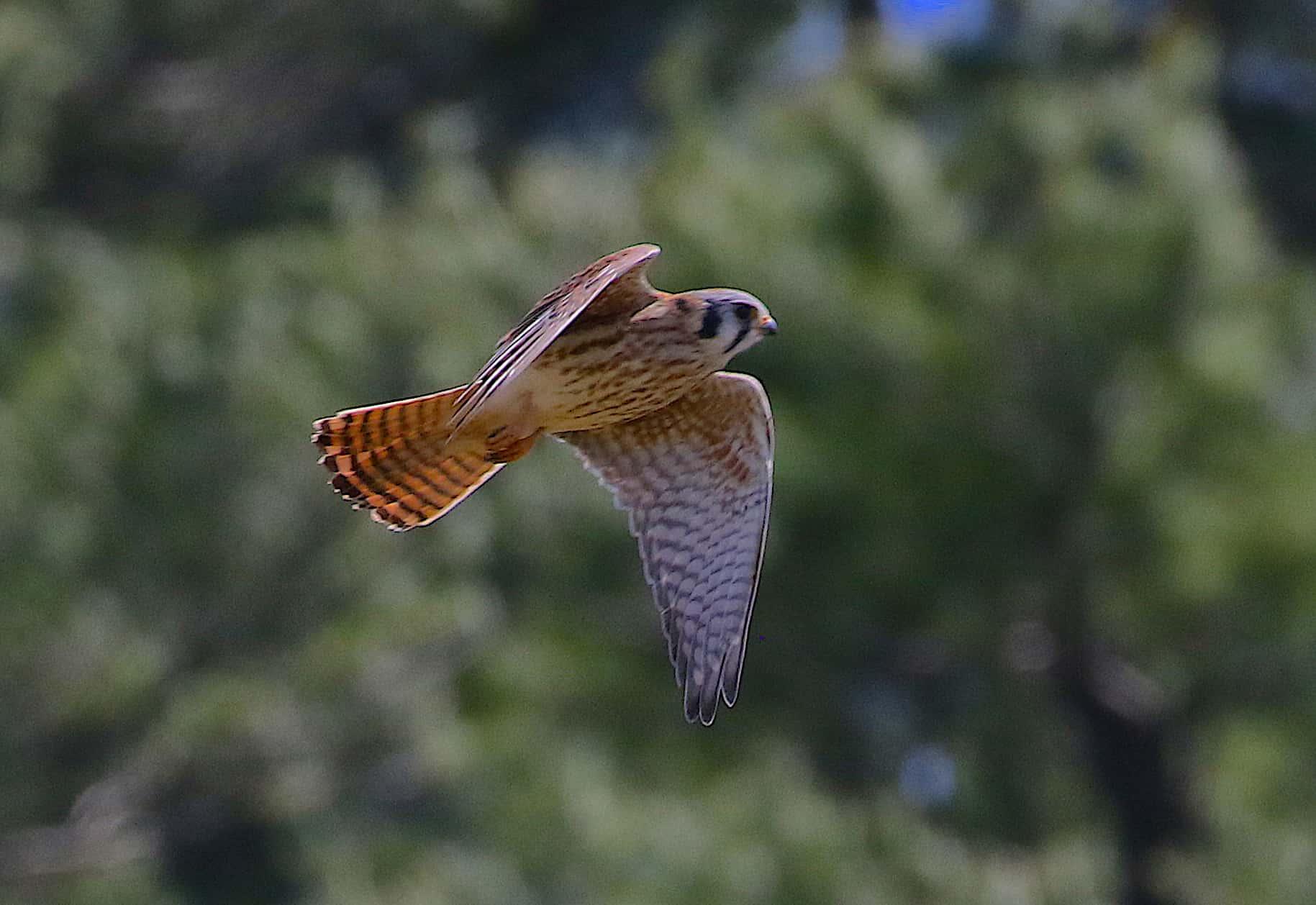 american kestrel female bird in flight