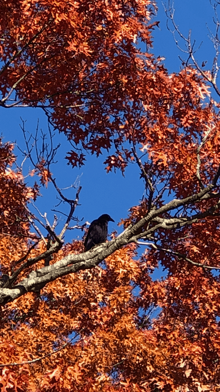 raven on the lookout
